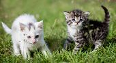 Grey tabby and white kittens on green grass