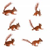 Eurasian red Squirrel, Sciurus Vulgaris on white