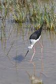 Black winged Stilt bird