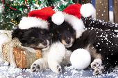 image of sheltie  - christmas puppies Sheltie wearing a santa hat - JPG