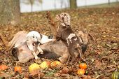 foto of catahoula  - Amazing Louisiana Catahoula dog with adorable puppies in autumn