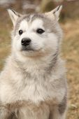 Portrait Of Alaskan Malamute Puppy