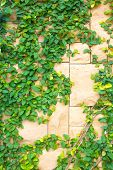 pic of creeper  - The Creeper Plant On A Stone Wall - JPG