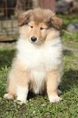 Adorable Puppy Of Scotch Collie Sitting In The Garden