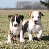 pic of american staffordshire terrier  - Two nice little puppies of American Staffordshire Terrier together in exterier