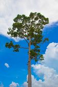 Alatus  tree.