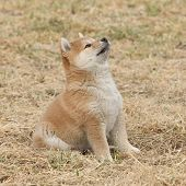 Beautiful Puppy Of Shiba Inu