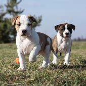 stock photo of american staffordshire terrier  - Two nice little puppies of American Staffordshire Terrier together in exterier - JPG