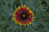 Gaillardia (Blanket flower, Indian Blanket)