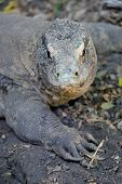picture of giant lizard  - A close up shot of a Komodo Lizard