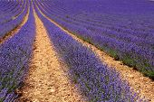 Lavender fields grown in rows