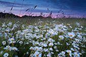 Beautiful Chamomile Field At Sunset