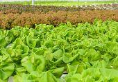 Butterhead Lettuce Plantation