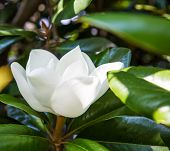 White Magnolia Blossom In Green Leaves