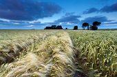Wheat Field In Dusk