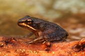Wood Frog (rana Sylvatica)