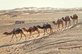 Caravan of camels in the sandy desert in Erg Chebbi, Morocco