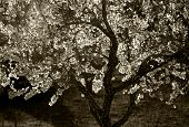 Blossoming tree sepia