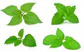 herb leafs