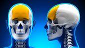 Female Frontal Bone Skull Anatomy - Blue Concept