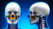 Female Maxilla Bone Skull Anatomy - Blue Concept