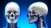 Female Nasal Bone Skull Anatomy - Blue Concept