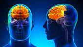 Male Frontal Lobe Brain Anatomy - Blue Concept