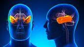 Male Temporal Lobe Brain Anatomy - Blue Concept