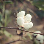 Cotton Plant , Vintage Cotton