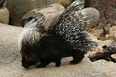 Crested porcupine (Hystrix cristata).