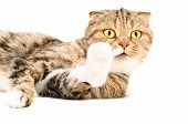 pic of scottish-fold  - Portrait of a curious Scottish Fold cat lying - JPG
