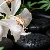 picture of tendril  - beautiful spa still life of blooming white hibiscus green twig with tendril passionflower and drops on zen basalt stones - JPG