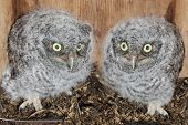 Eastern Screech-owl Chicks