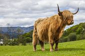 pic of incredible  - Incredible scottish cattle  - JPG