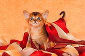 Little Abyssinian Kitten With Headscarf