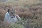 A Lioness In Madikwe