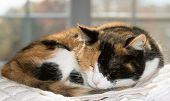 Beautiful calico cat asleep against a sunny window