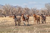 Horses Coming In from Pasture