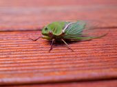 macro of a cicada on merbau decking