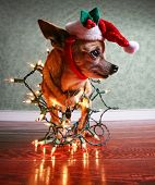 a cute chihuahua with a santa hat and christmas lights on