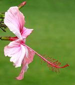 image of stamen  - Beautiful pink hibiscus flower with stamens and pistil - JPG