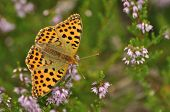 Dark Green Fritillary Butterfly Sitting On The Heather In The Forest. Insect With Orange Wings With