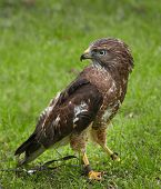 Tethered Broad-wing Hawk (Buteo platypterus)