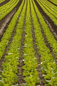 Green Cabbage Plant Field Outdoor In Summer