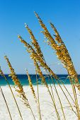 pic of gulf mexico  - Close up of sea grass with the Gulf of Mexico in the background - JPG