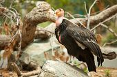 The Endangered California Condor