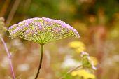 Inflorescência (Umbela) de planta da família das umbelíferas