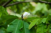 stock photo of japanese magnolia  - Big leaves and white flower bud of Magnolia obovata  - JPG