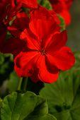 image of geranium  - geranium flower red close up with green sheets - JPG