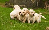 picture of golden retriever puppy  - A litter of golden retriever pups exploring the yard